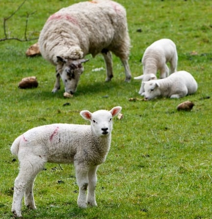 Milking system needed for sheep